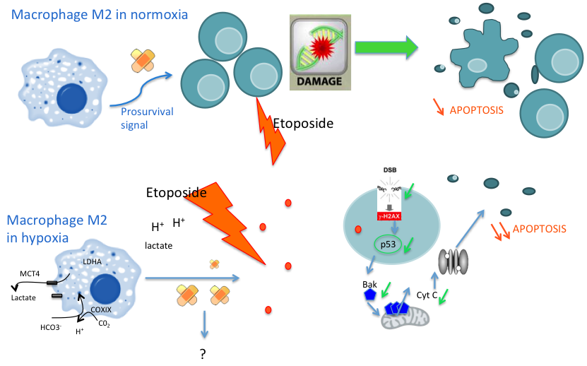 Role of macrophages